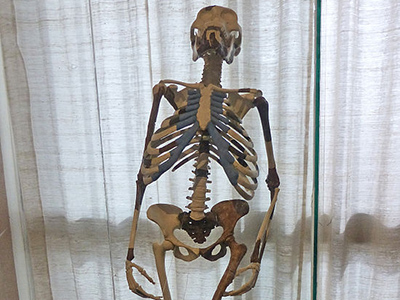 Lucy's skeleton in Addis Ababa National Museum - By Ji-Elle [CC BY-SA 3.0 (http://creativecommons.org/licenses/by-sa/3.0)], via Wikimedia Commons