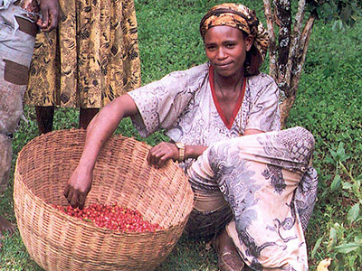 Young woman harvesting coffe in the Kaffa region - By USAID Africa Bureau [Public domain or Public domain], via Wikimedia Commons